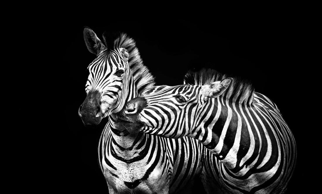 zebras-2800384_1280.jpg